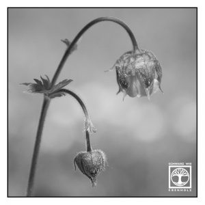 flower blackandwhite, Geum rivale, water avens