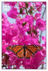 orange butterfly, monarch, monarch butterfly, pink flowers
