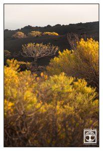 Fuencaliente, La Palma, volcano, volcanic landscape, volcanic vegetation, yellow shrub