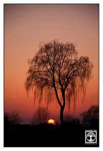 sunset tree, lonely tree, willow, willow sunset