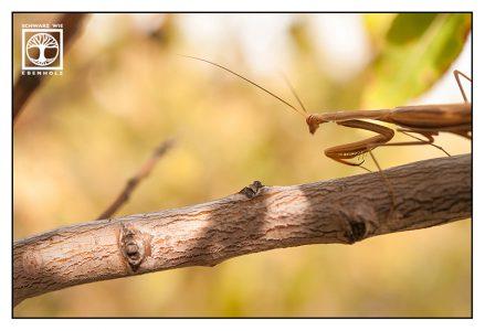 mantis, praying mantis