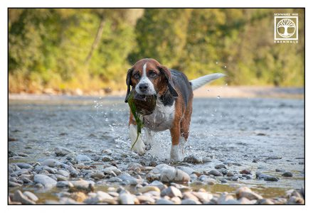 dog, dog photoshoot, beagle photoshoot, dog action, beagle action, dog fetch, dog fetching stone