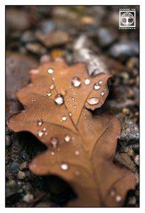 autumn leaf, macro leaf, leaf drops, oak leaf
