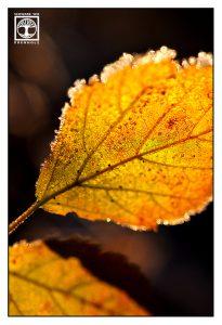 yellow leaf, autumn leaf, backlight leaf