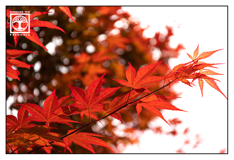 red maple, Japanese maple, red leaves, autumn leaves