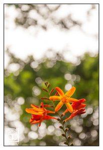 orange flower, orange flowers, flower bokeh