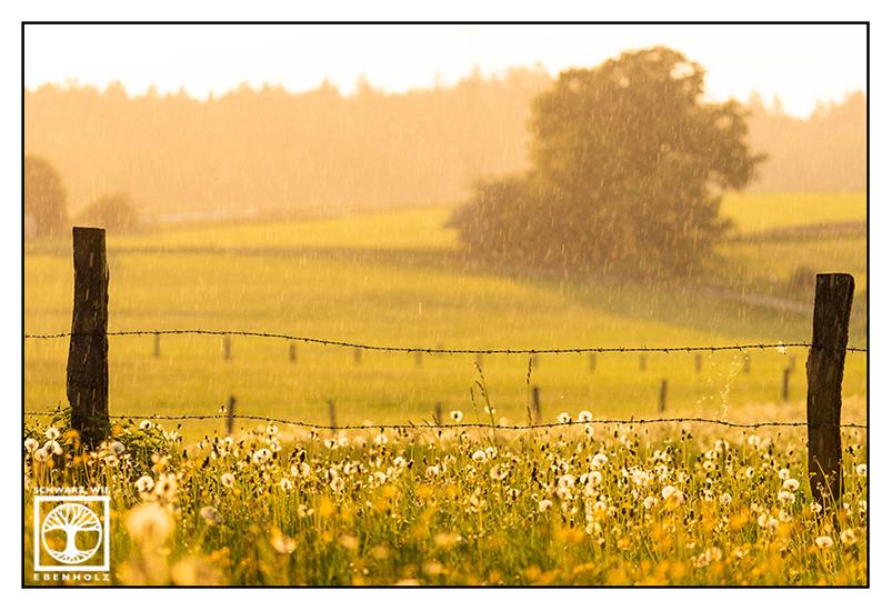 backlight meadow, rainy day, rainy weather, rain meadow, blowballs