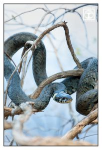 snake, ring snake