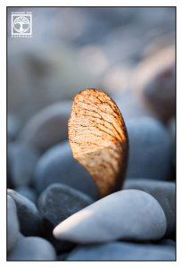 mapleseed, maple seed macro