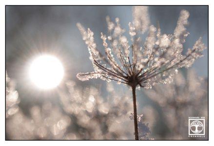 frozen flower, frost macro, winter macro