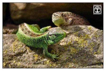 lizard couple, lizard stone, animal love