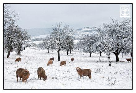 sheep winter, sheep herd, Baden-Württemberg, Germany, countryside, farm animals, rural landscape