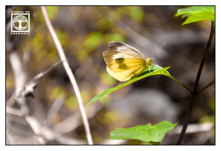 yellow butterfly, Canary Islands Large White