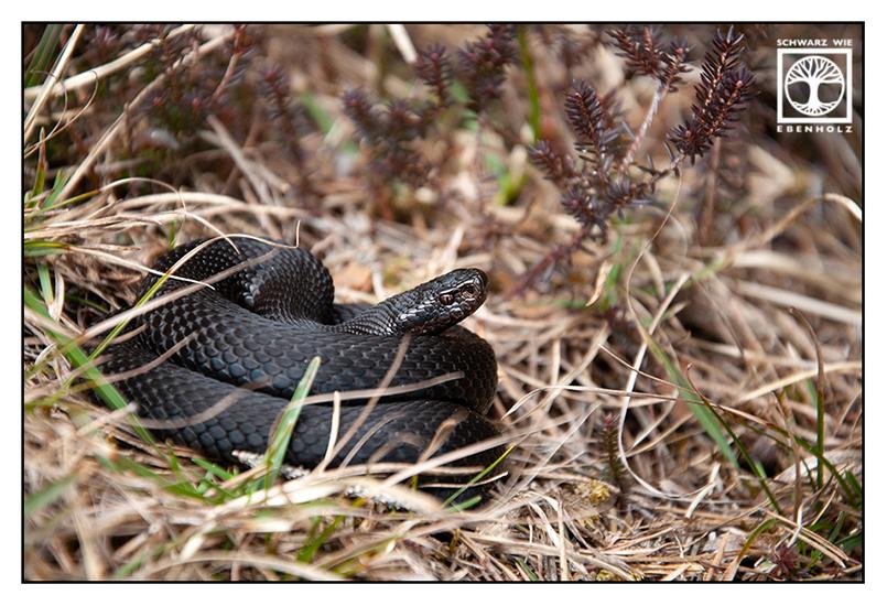 adder Blackadder, black adder, viper, black viper, black snake, snake, crossed viper, European viper