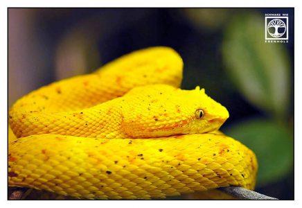 yellow snake, yellow viper, eyelash palm viper, yellow eyelash palm viper