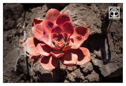 succulent, succulents, red flower, fuencaliente, la palma