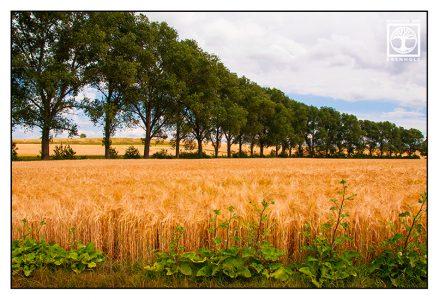 Flonheim, Rhineland, Palatinate, Pfalz, Germany, wheat field, cornfield, rural landscape, countryside