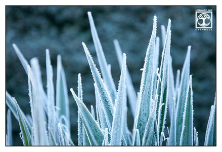 frost leaves, frost grass, frosty grass