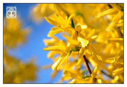 forsythia, yellow flowers, yellow flower, spring flowers