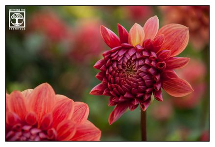 red dahlia, dahlia, red flower, autumn flowers