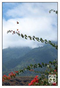 flying butterfly, la palma mountains