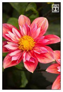 dahlia, pink dahlia, pink flower