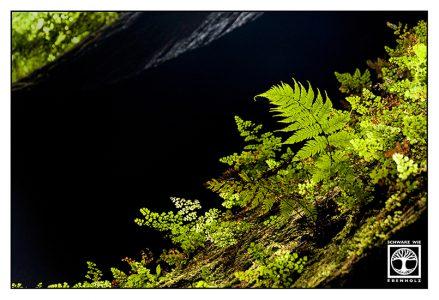 fern leaves, green forest, backlight fern, los tilos, la palma