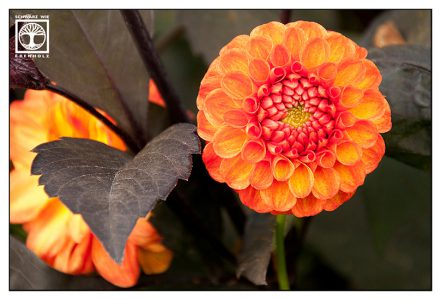orange flower, orange dahlia, dahlia, autumn flower