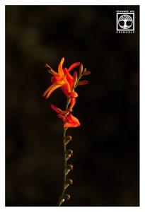 red flower, red flower la palma
