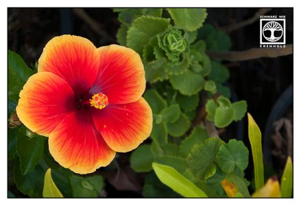 red flower, hibiscus, rose of sharon, red hibiscus