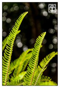 fern leaf, fern leaves, green leaves, leaves bokeh