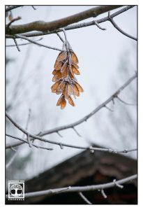 maple seed, frosty tree