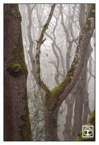 foggy forest, misty forest, fog trees
