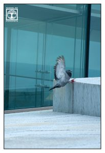 pigeon, funny pigeon, oslo opera, oslo, pigeon stairs