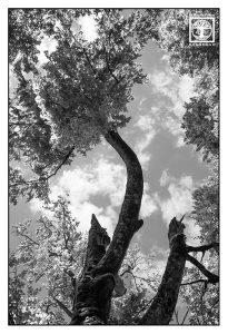 Baum schwarzweiss, Baumkrone schwarzweiss