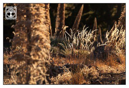 backlight grass, golden grass