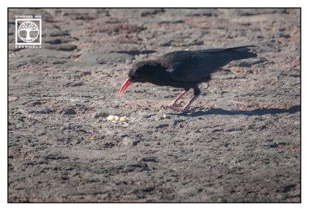 black bird, black bird la palma, la palma