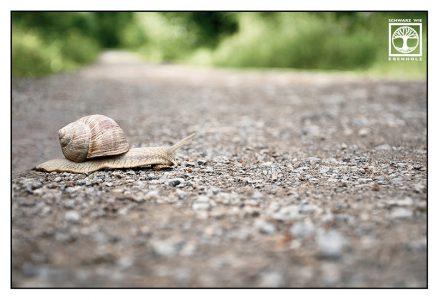 grapevine snail, garden snail, grapevine snail road