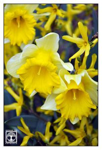 daffodil, daffodils, yellow flowers, spring, spring flowers