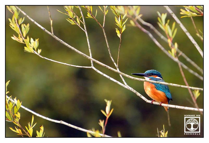 kingfisher, orange blue bird