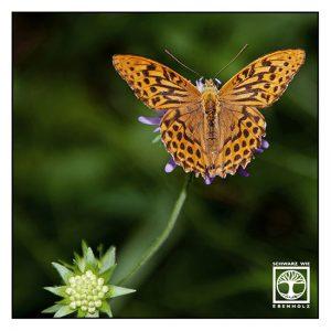 orange butterfly, Dark green fritillary, Argynnis aglaja