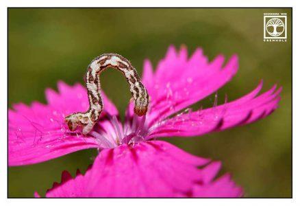 caterpillar, pink flower