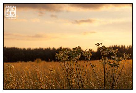 cornfield, rural landscape, backlight field, sunset field, countryside