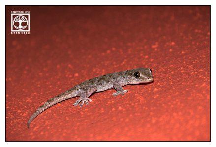 gecko, cute gecko
