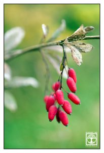 red berries, red green