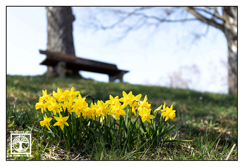 daffodil, daffodils, narcissus, yellow daffodils, yellow narcissus, spring, springtime