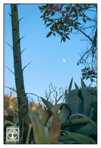 aloe vera plant, aloe vera blossom, La Palma