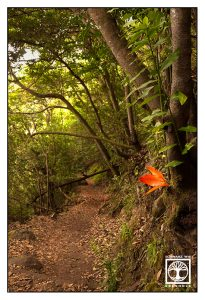 la galga, laurel forest, forest path, la palma