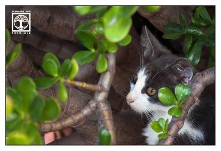 cute cat, kitten, black and white cat, money tree, money plant
