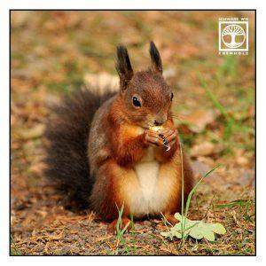 squirrel, red squirrel, eating squirrel